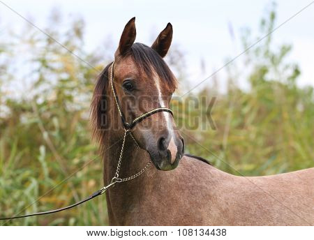 Head Of A Shagya Arabian Horse At Rural Scene