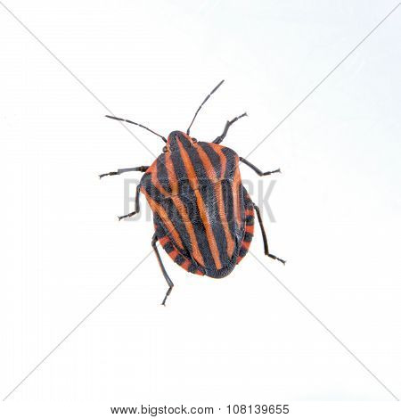 Red Black Striped Shield Bug On A White Background
