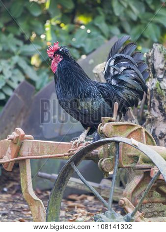 Rooster On Tool In The Farm