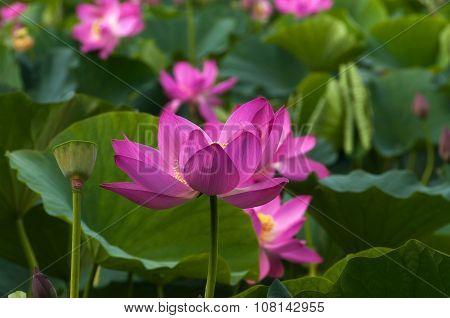 Pink Lotus Flower, Close-up