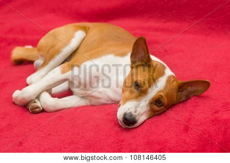 basenji dog resting on red sofa