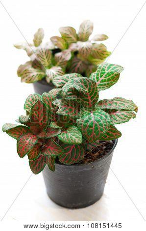 Fittonia White Background. Scientific Name- Fittonia Verschaffeltii, Pot Plant