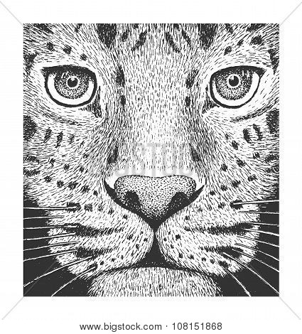 Leopard Engraving Illustration