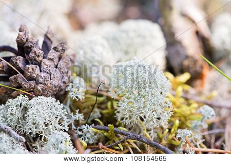 White reindeer moss photo