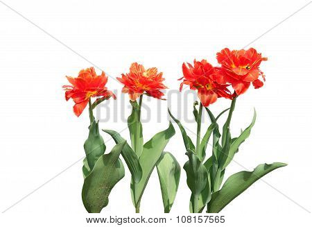 Several Red Flowering Tulips Isolated