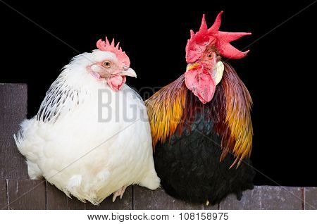 Rooster And Hen Couple