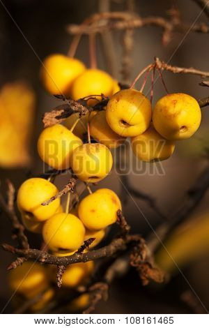 Yellow Crab Apples Golden Hornet