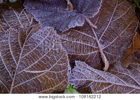 first frost on the leaves