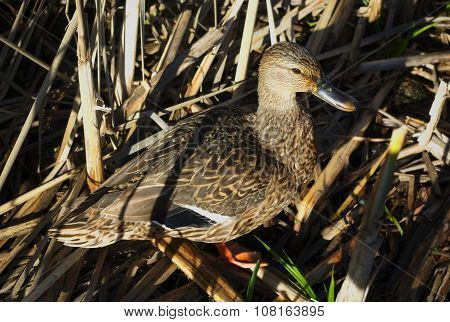 camouflaged duck in high grass