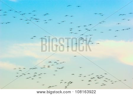 many geese in the sky