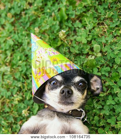 a cute chihuahua in green clover and grass with a birthday hat one looking wide eyed