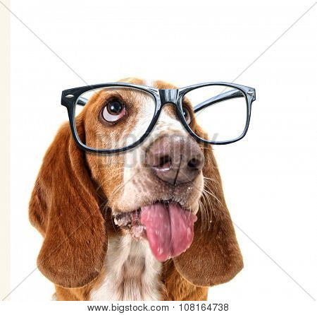 a close up of a basset hound's face with cool trendy hipster or nerd geek black frame glasses on his face