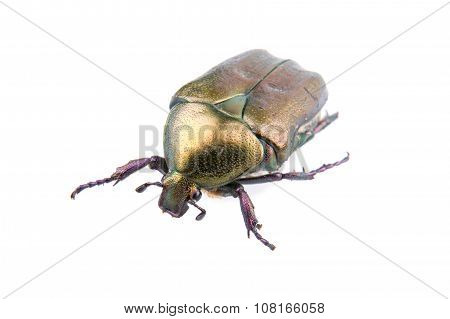 Big Bronze Bug On A White Background