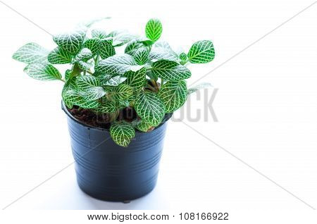 Fittonia White Background. Scientific Name- Fittonia Verschaffeltii
