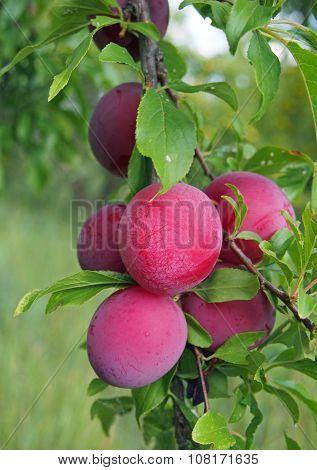 Plenty of ripening plums