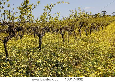Springtime Vines In The Barossa Valley