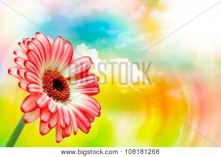 Gerber Flower Close Up