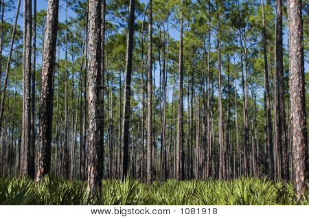 Pines And Saw Palmettos