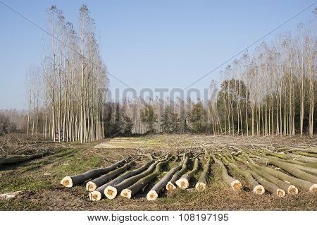 Cutting A Forest Of Poplars.