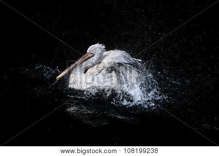 Pelican with flapping wings