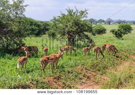 Impala Group In The Tarangire Park, Tanzania