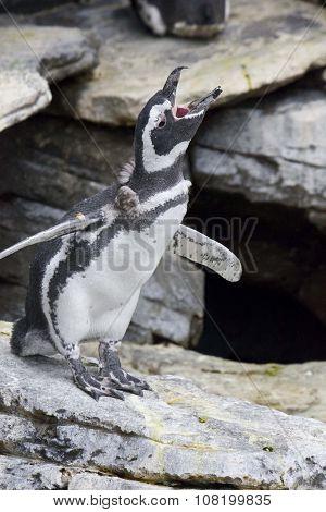 Penguin Shouting In Lisbon Oceanario