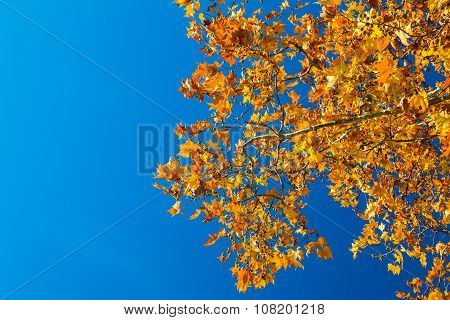 The brilliant red and orange leaves of a Maple tree against a deep blue sky