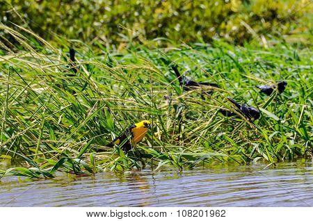 Yellow Bird In The Amazon Rainforest, Brazil
