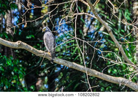 Grey Eagle In The Amazon Rainforest, Brazil