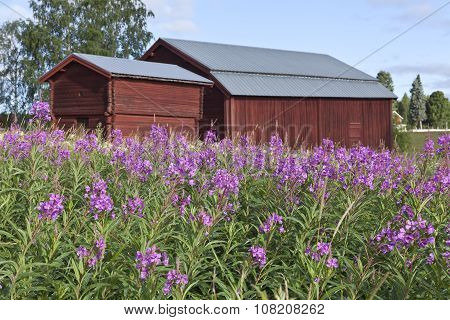 Fireweed in bloom
