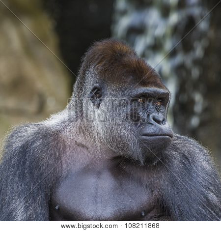 A Western Lowland Female Gorilla Standing Facing Forward