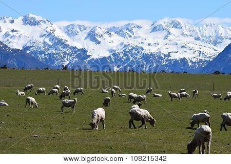 Sheep grazing in New Zealand mountains