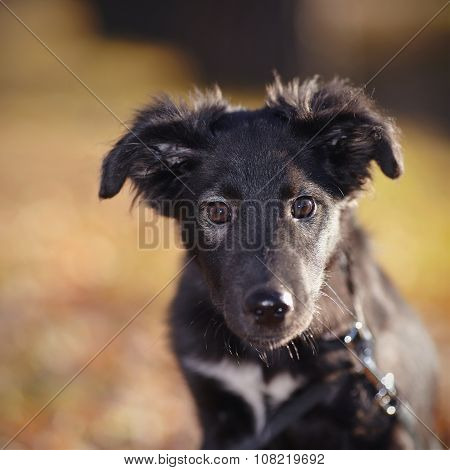 Portrait Of A Black Not Purebred Puppy