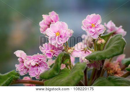 Indoor Flower - Pink Saintpaulia In Blossom Over Natural Background