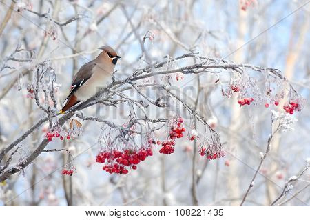 Waxwing on tree branch
