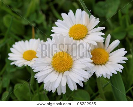 Daisy (bellis), South Bohemia