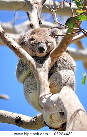 Koala Sleeping On A Eucalyptus Tree
