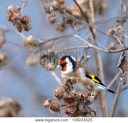 Goldfinch Eating Bur