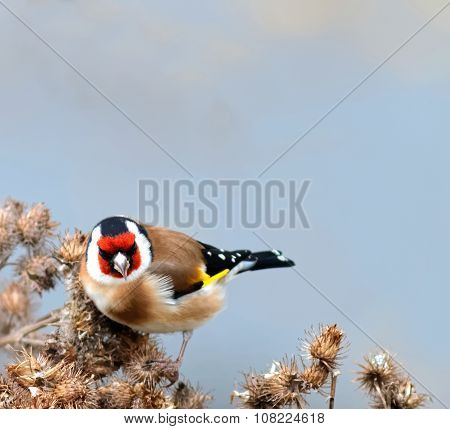 Goldfinch Staring
