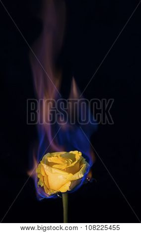 Yellow Rose On Fire But Not Burning Out With Black Background