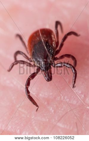 Close Up Macro Of Deer Tick Crawling On Skin