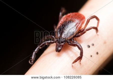 Close Up Macro Of Deer Tick Crawling On Straw