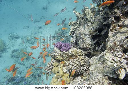 Coral Reef With  Exotic Fishes Anthias In Tropical Sea, Underwater