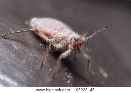 Red And White Aphid On Black Surface