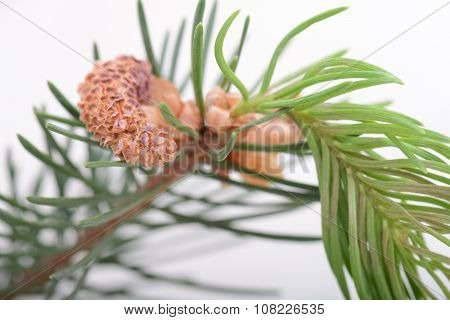 Fir-needle Tree Branches Composition As A Background Texture