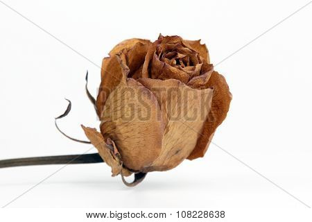 Dried Rose Closeup On A White Background