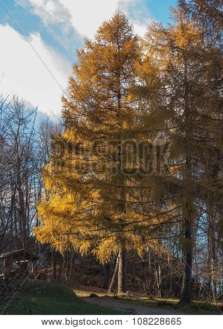 Larch In Autumn With Yellow  Needles