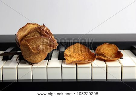 Dried Rose With Water Drops And Fallen Petals Lying On Piano