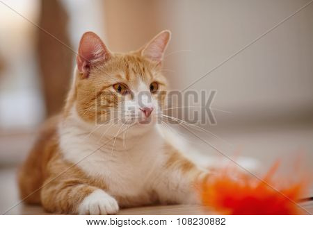 Portrait Of A Red Striped Cat With A Toy.