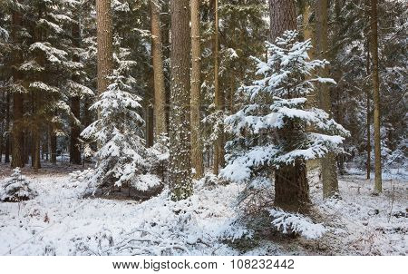 Winter Landscape Of Natural Forest With Pine Trees Trunks And Spruces